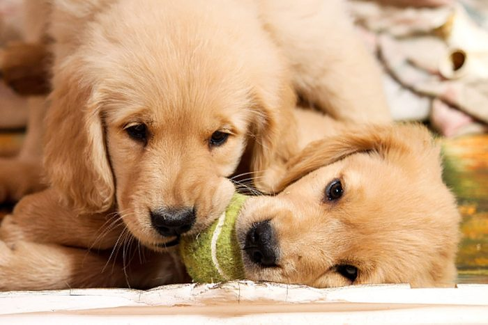 two cute puppies share one tennis ball
