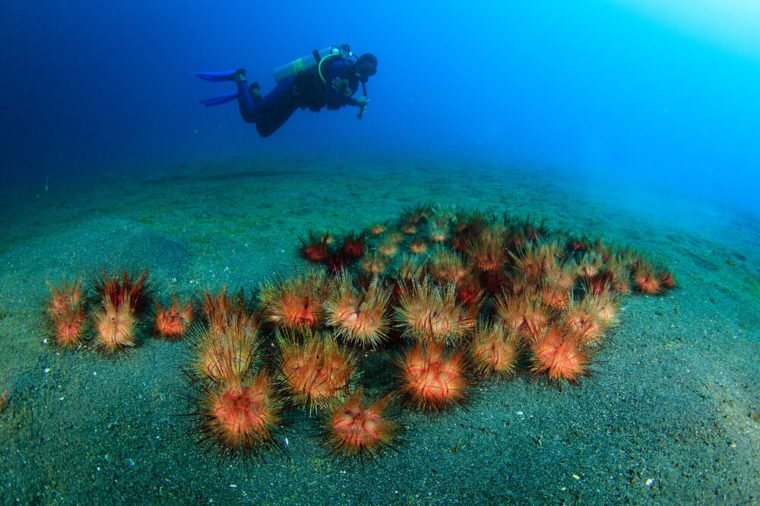 Sea Urchins and Diver