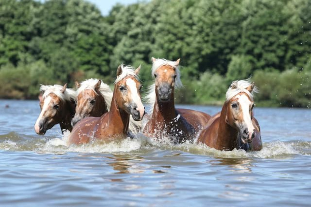 Batch of nice chestnut horses swimming in water