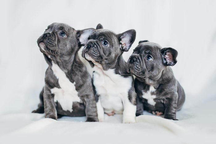 three cute french bulldog puppies look to the left