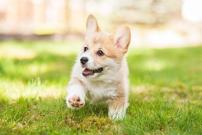 cute corgi puppy walks in the grass