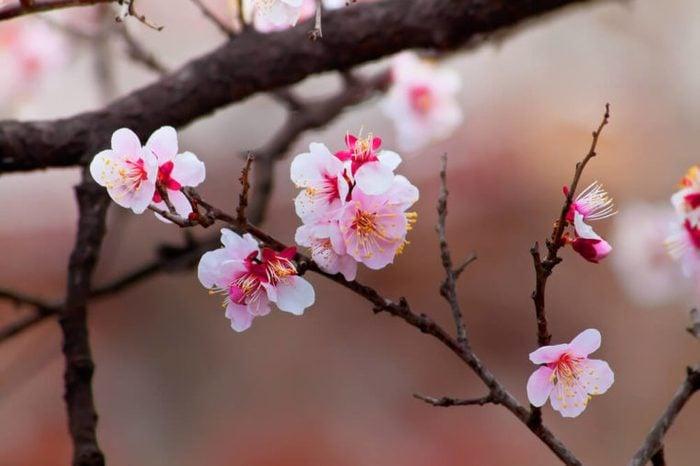 Sakura Cherry Blossom at Kenrokuen Garden in Kanazawa