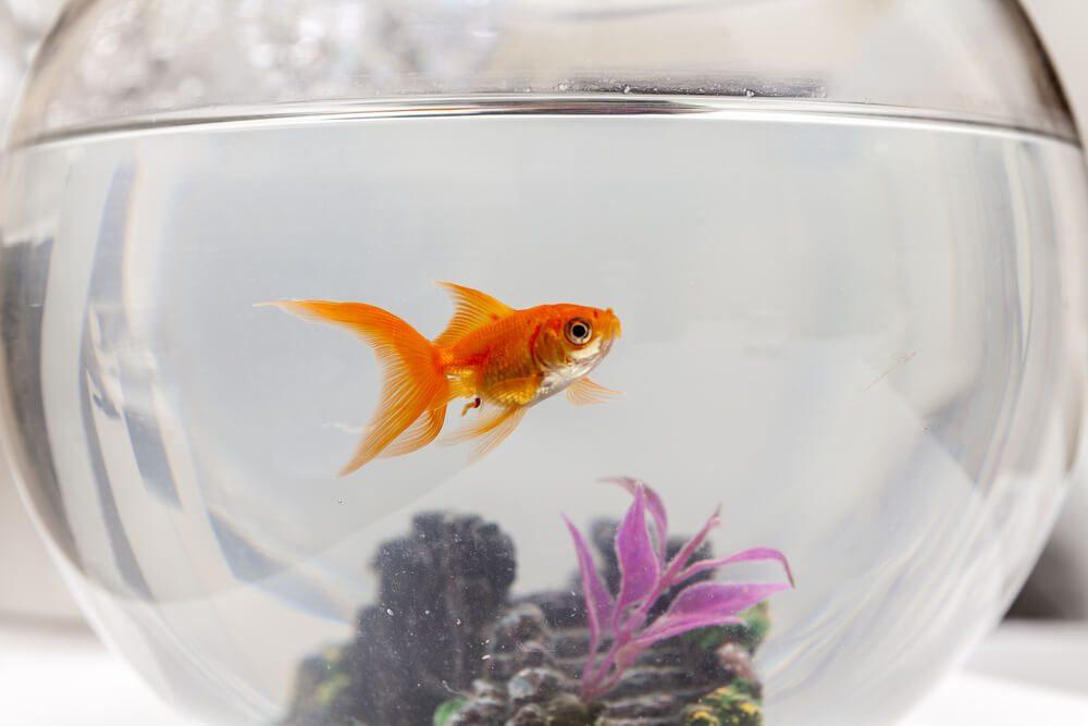 Goldfish in an aquarium, close up