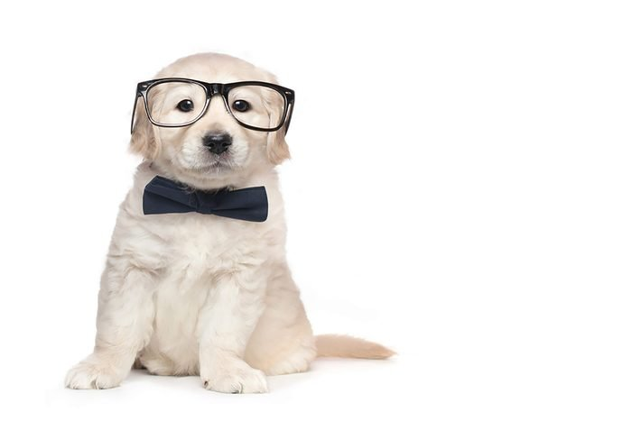 adorable puppy in wearing glasses and a bow tie