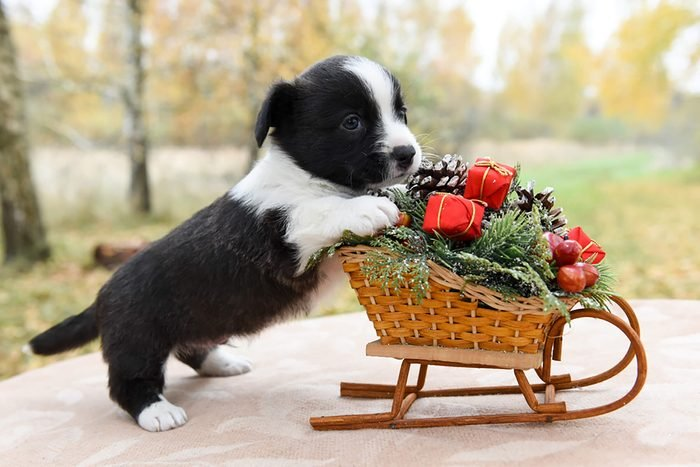 adorable puppy poses with miniature sled full of miniature gifts