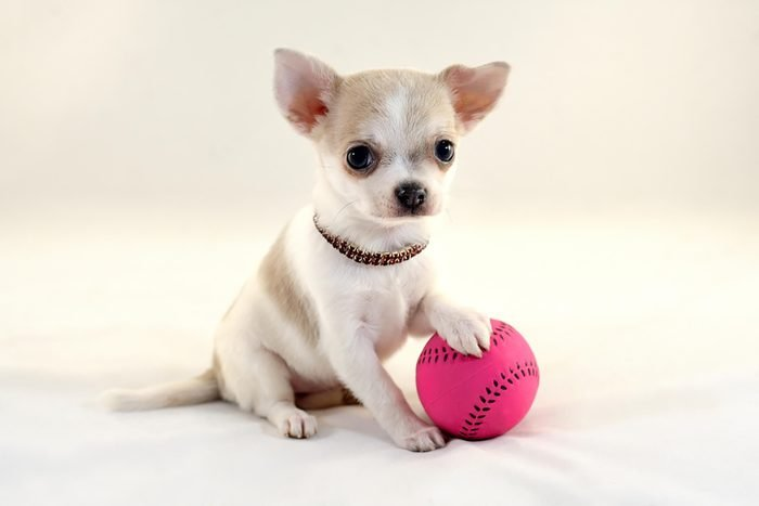 adorable puppy with pink tennis ball