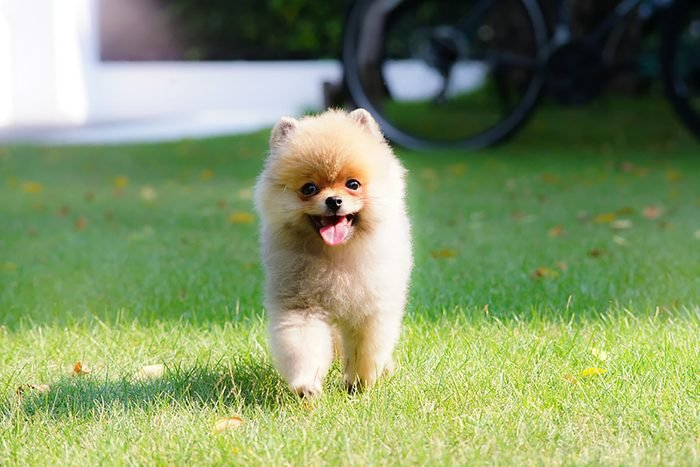 adorable puppy walks in the grass