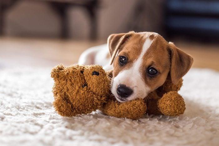 cute puppy cuddles with his teddy bear
