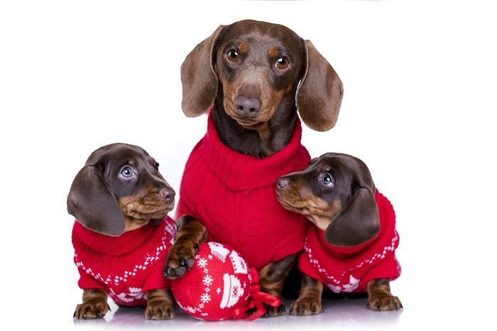 dog and two puppies wearing adorable red sweaters