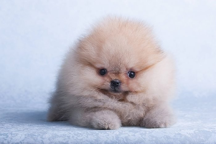 adorable puppy is just a cloud of fluff