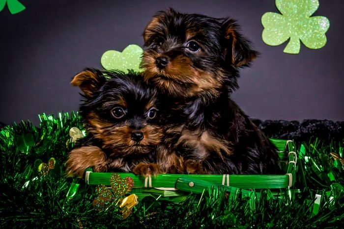 two adorable puppies in a st patricks day basket