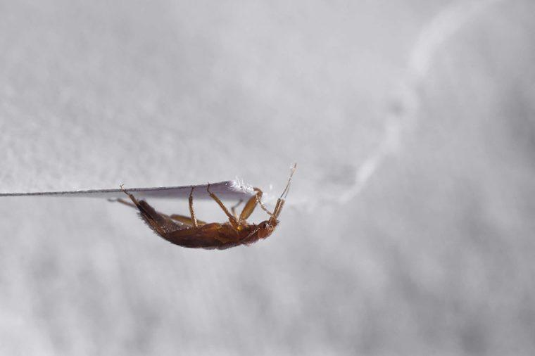 Bed bug Cimex lectularius