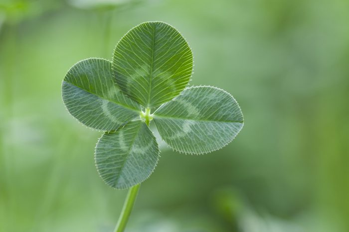 four leaf clover. st patricks day fun facts