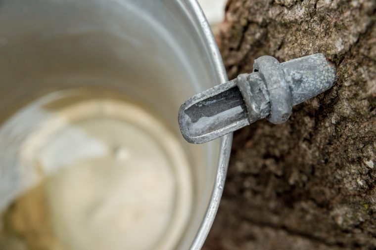 maple syrup sap tap
