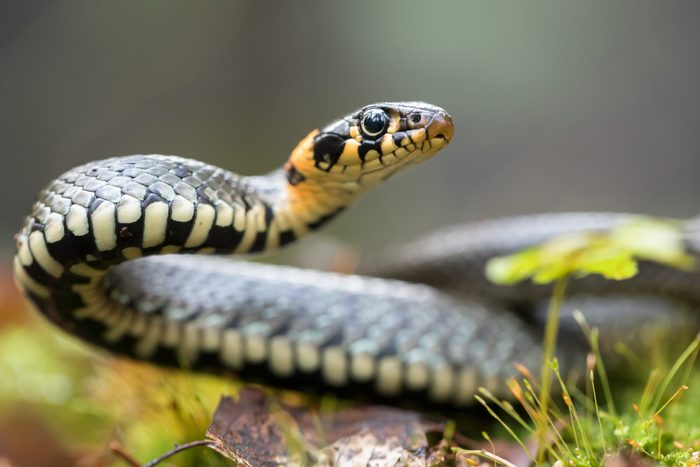 grass snake. st patricks day fun facts.