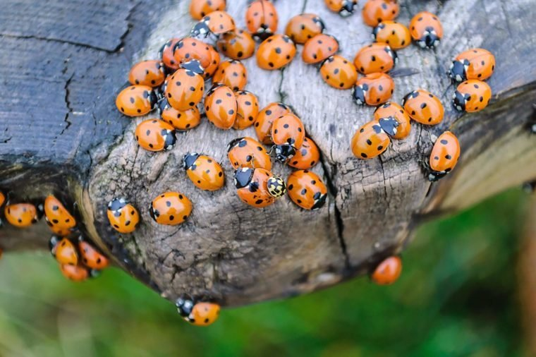 Lots of ladybugs on a wooden bench
