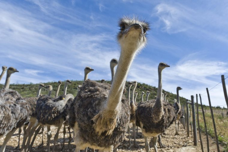 Ostriches (Struthio camelus) on a commercial ostrich farm, Oudtshoorn, Western Cape, South Africa