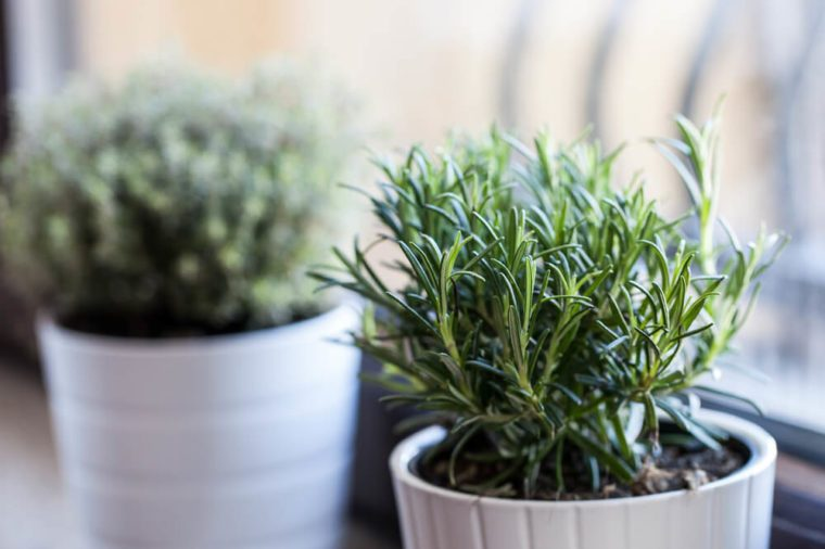 Rosemary in white pot with other white pot herb as background