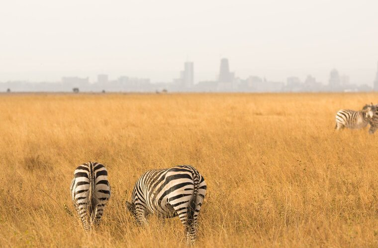 panoramic view from a herd of zebra's walking and grazin on a golden grassfield with the city of Nairobi on background, Kenya