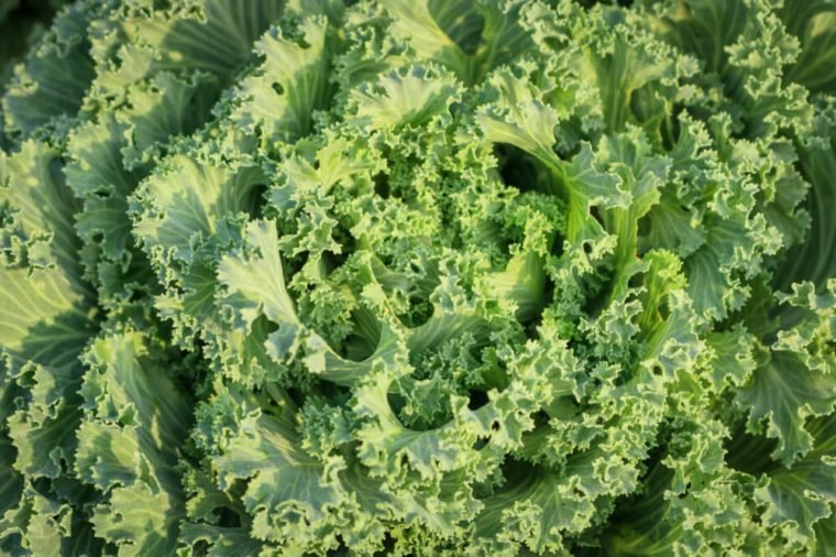 Close up flowering kale plant. Ornamental cabbage with green leaves.Top view