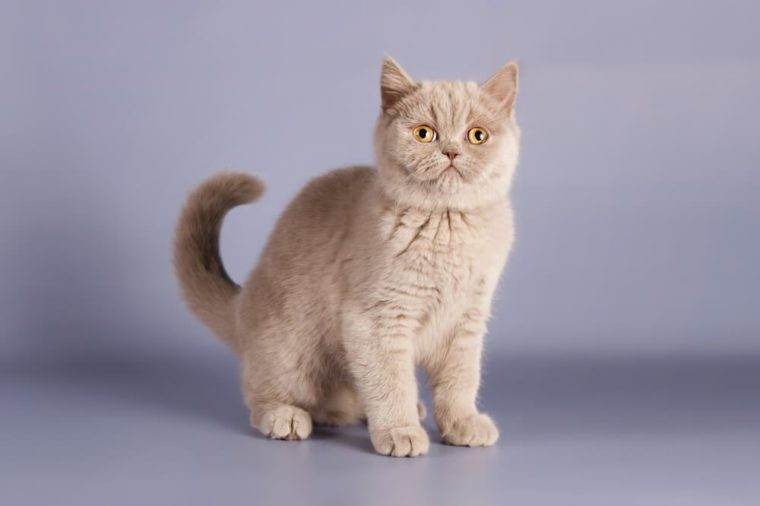 Kitten is newborn, suckling. Little kitten with newly opened eyes, British blue kitten, Pets, a very small kitten on a blue background, a cute adorable kitten, Scottish straight.