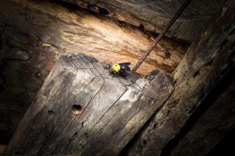 The carpenter bee was moving into its nest ,life cycle of the carpenter bee.