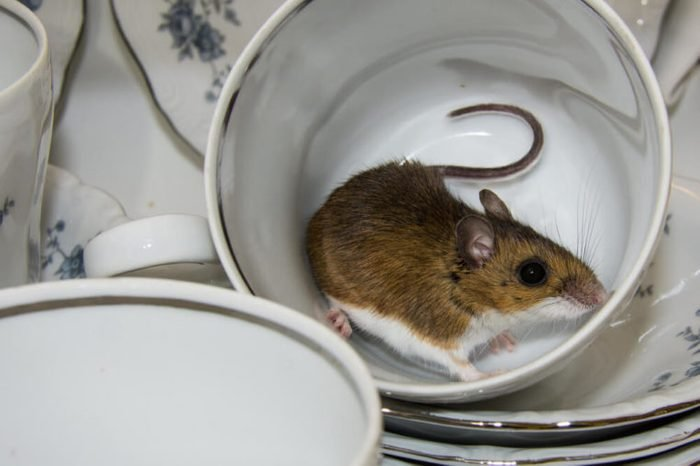 Side view of a brown wild house mouse inside of a fancy blue and white tea cup with other dishes stacked in the cabinet. A rodent is something you do not wish to find in your kitchen pantry.