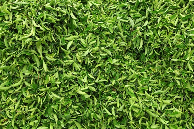 Tea leaves.Tea leaves collecting area in estate