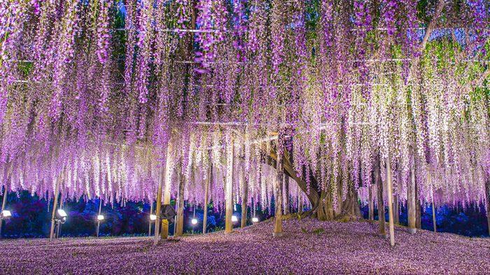 Giant wisteria, Ashikaga, Japan