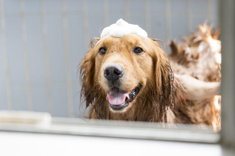 The golden retriever taking a bath
