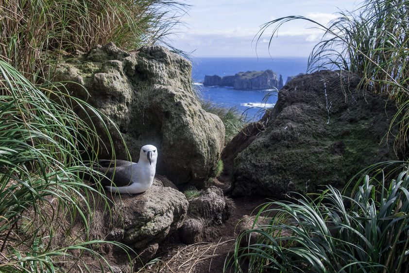 Atlantic Yellow-nosed Albatross with a Spectacular View from the Nest on Nightingale Island