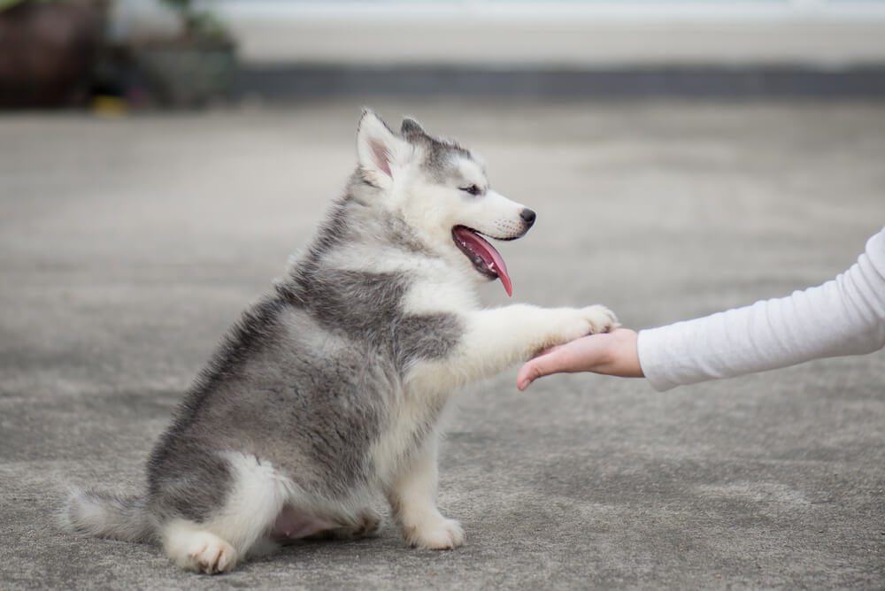 siberian husky puppy gives paw to human hand