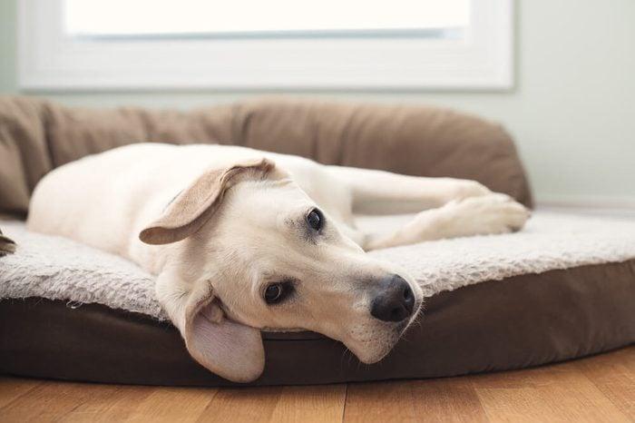 Yellow Lab Puppy Dog Sleeping on Bed