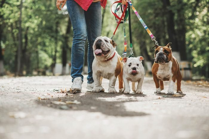 Three English bulldog on a leash