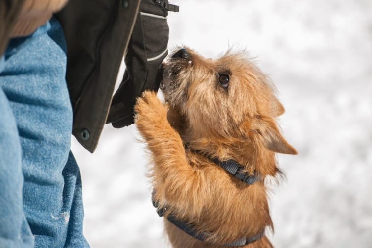 Cute Cairn Terrier puppy playing outside in cold winter snow. Young dog acting shy in the park on a sunny day and jumping up on its owner.