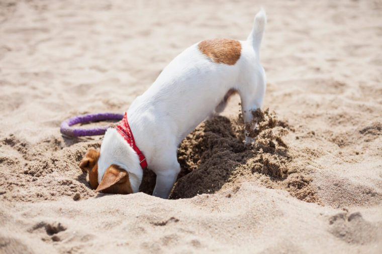 Little Jack Russell puppy playing on the beach digging sand. Cute small domestic dog, good friend for a family and kids. Friendly and playful canine breed