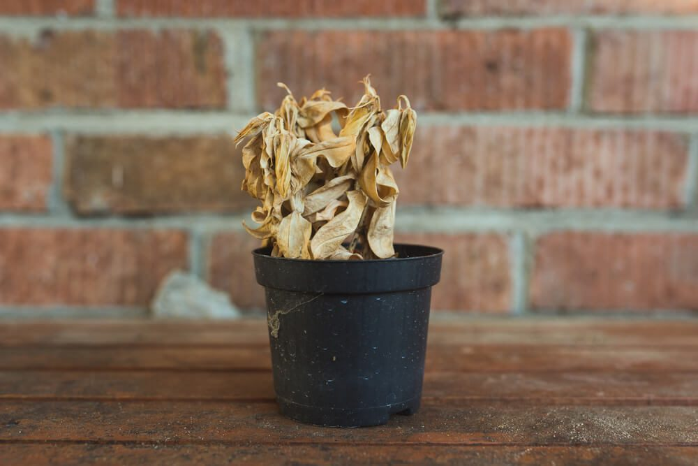 dead dry plant in pot