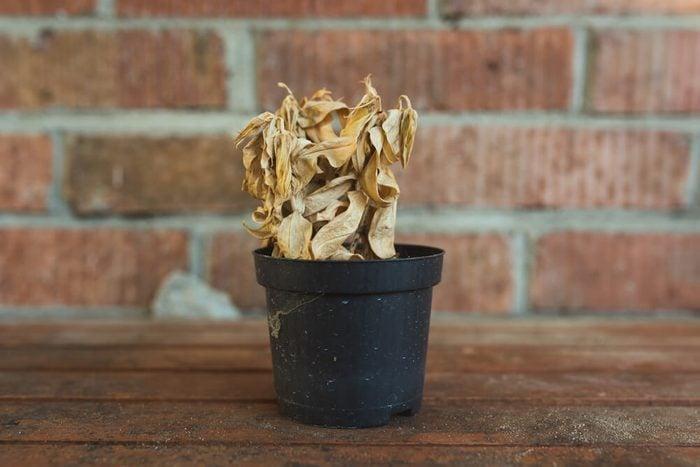 dead dry plant in pot