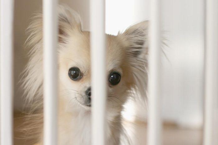 Small chihuahua dog waiting behind indoor dog fence on wood flooring