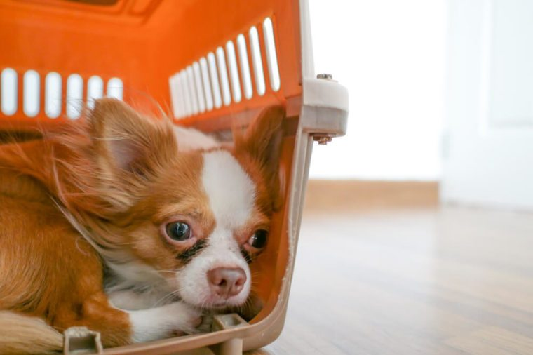 Scared chihuahua in its crate.