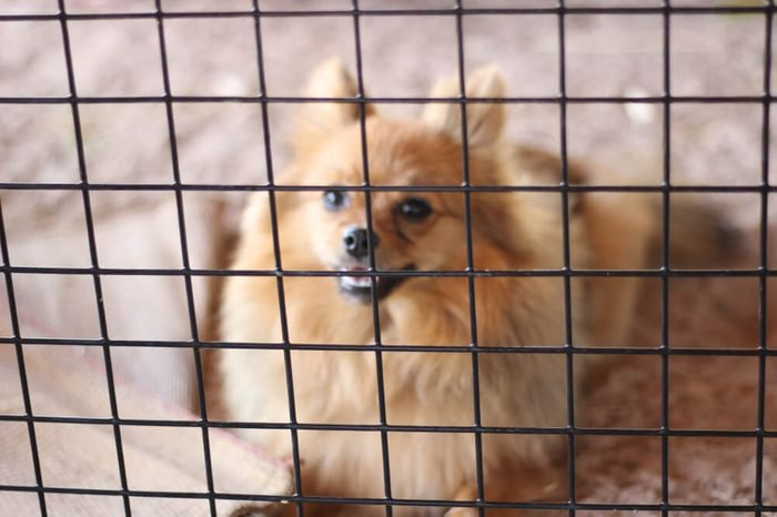 Pomeranian dogs are trapped in a cage expressing their longing for freedom Not focus