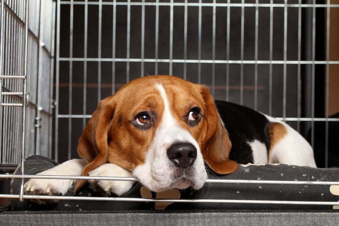 Sad Beagle Dog lying in cage