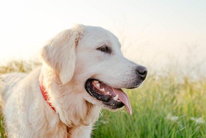 labrador retriever dog walking in park