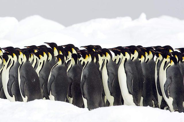 Emperor penguins, the Antarctic.