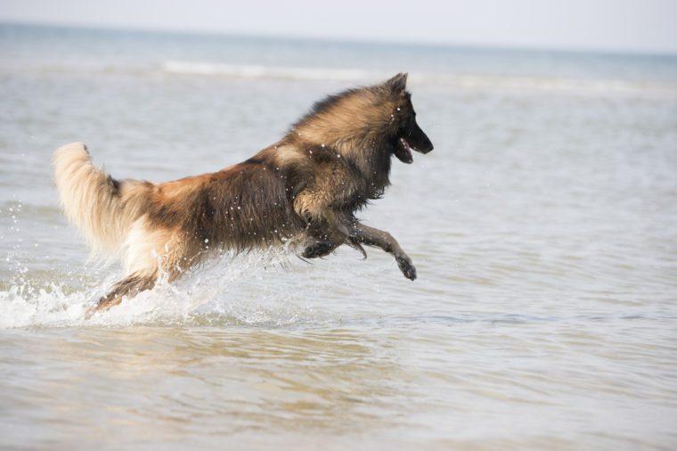 Dog, Belgian Shepherd Tervuren, running in the ocean, coming out of the water
