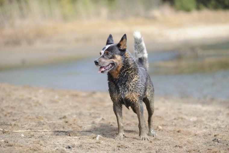 Australian Cattle Dog. Karte Dinkum Ozzie, a pedigree male cattle dog responding to trainer's commands