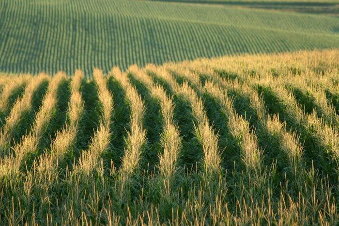 cornfields, Schuyler, Nebraska