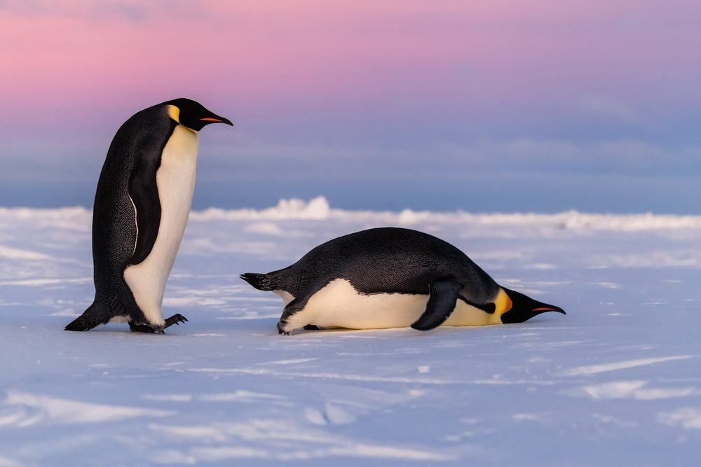 Cute Emperor penguins, one standing one sliding on belly