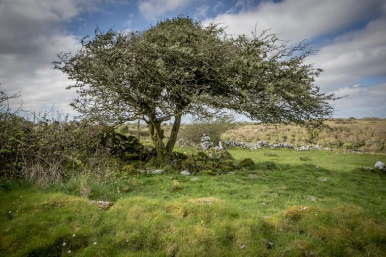Lonely windswept hawthorn tree in Ireland.