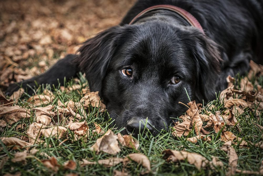 Flat coated retriever lying on leaves